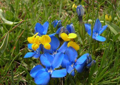 Gentiane de bavière (bleu) et Lotier corniculé (jaune)